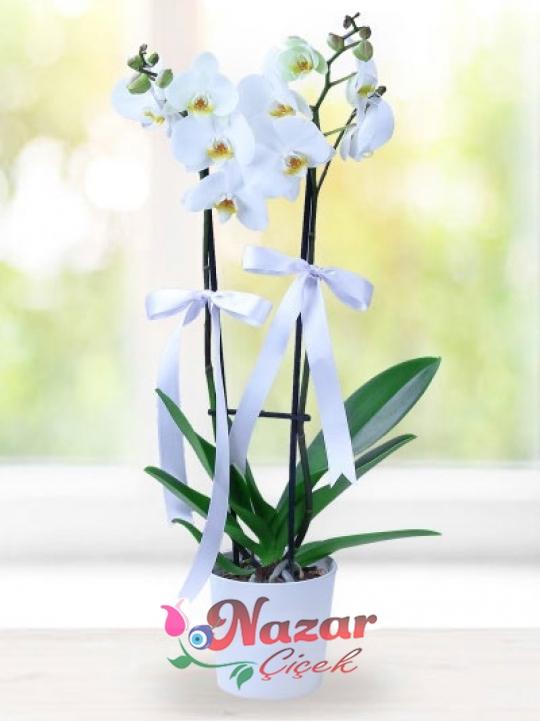 iki  dallı kampanyalı orkide
