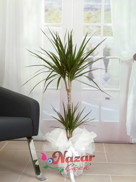 2 kök Marginata  Çiçeği