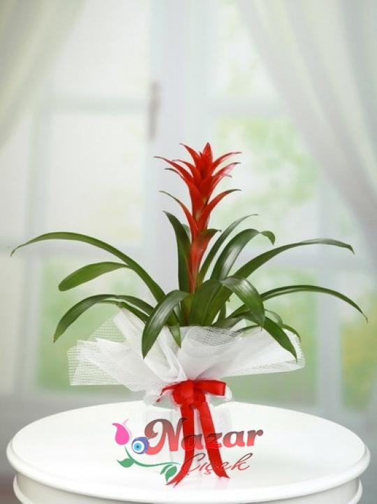 Guzmanya Çiçeği