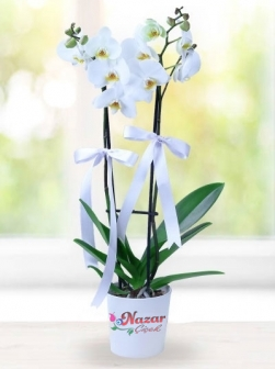 iki  dallı beyaz orkide renk değişiklik gösrerebilir