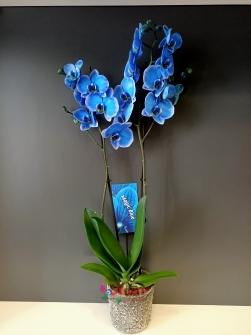 Mavi 2li Orkide