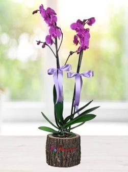 Doğal Kütükte 2li Mor Orkide