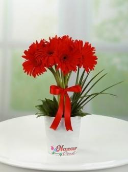 Kırmızı Gerberalar