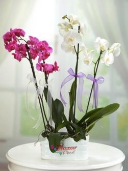 Mor Orkide ve Beyaz Orkide
