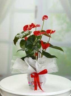 Antorium  Çiçeği
