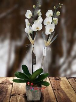 Orkidenin Zarafeti