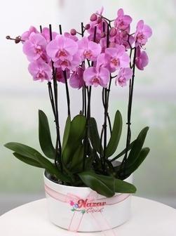 8 Lİ Mor  Orkide